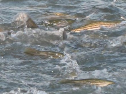 striped bass feeding